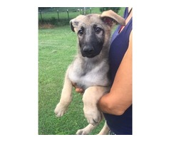 Reg UKC German Shepherd Puppies Rare SiLver and tN