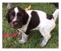 German Wirehair Pointer Puppies