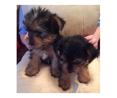 Adorable Yorkie's