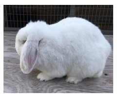 Minilop Rabbits for sale