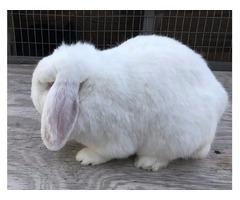 Minilop Rabbits for sale