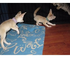 2 Fennec Foxes Available