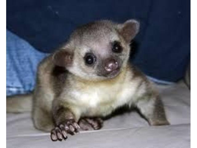 Cute Male And Female Kinkajous Babies For Sale   free-classifieds-usa.com