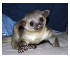 Cute Male And Female Kinkajous Babies For Sale