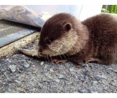 Cute And Adorable Otters For Sale