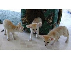 Beautiful Malefemale Fennec Fox Available