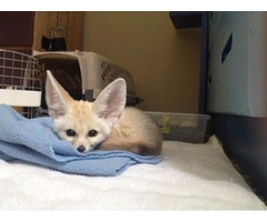 New Liters Of Fennec Fox Kits Available
