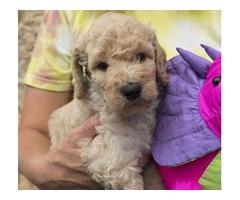 CKC Goldendoodle Puppies! 35 lbs.