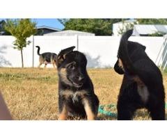 7 German Shepherd puppies