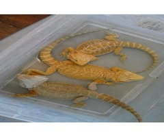 BEAUTIFUL BEARDED DRAGONS