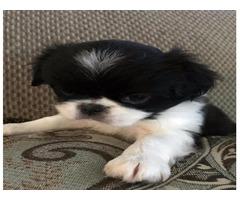 Ramen Japanese Chin Male Puppy $1500