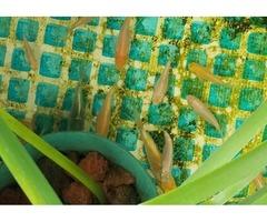 KOI FISH BABIES FOR SALE