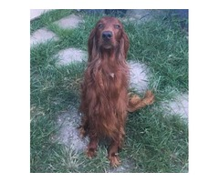 Registered Irish Setter Free to A Good Home