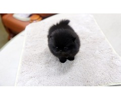 super quality Pomeranian puppies for sale visit our website and chose your puppy