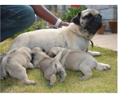 The Pug remains one of the most popular breeds to own and for good reason.