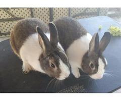 Two Male Gray Purebred&Pedigreed Dutch Rabbits