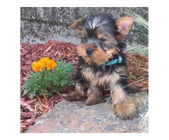 Adorable male and female Yorshire puppies for adoption