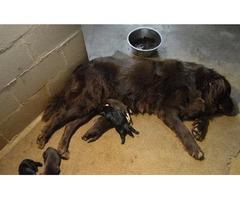 AKC Newfoundland puppies