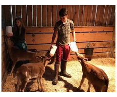 mini dairy cattle - mini jersey x zebu calves for sale