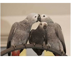 Gorgeous Talking Hand Reared African Grey Parrots