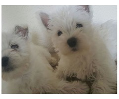 Baby west white highland terrier pups Looking For New Home