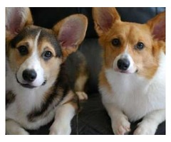 Stunning Pups Pembroke Welsh Corgi Boys and Girls