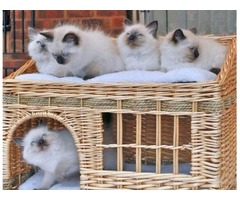 Beautiful ragdoll kittens available now forever home