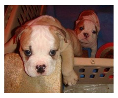 Beautiful Huu Clear AKc Reg Bulldog Puppies