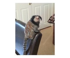 Supreme marmoset monkeys available