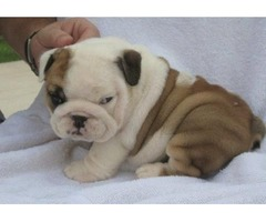 cute and adorable English bulldog puppies for sale