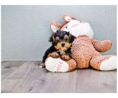Supreme Yorkie pups  available
