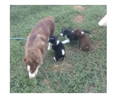 Aussie and borders collies