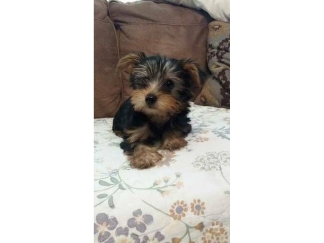 Cute Yorkie Puppies For Adoption Animals Madison Alabama