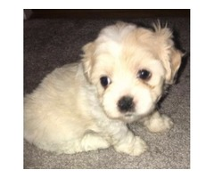 2 SHORKIE PUPS FOR SALE
