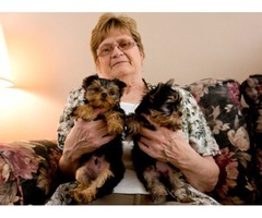 Socialized Tea-Cup Size Yorkie Puppies For Adoption