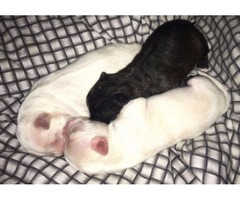3 puppy shorkies for sale !