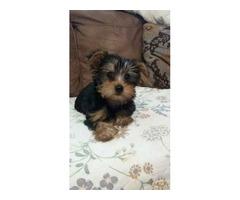 Yorkie puppies - $350