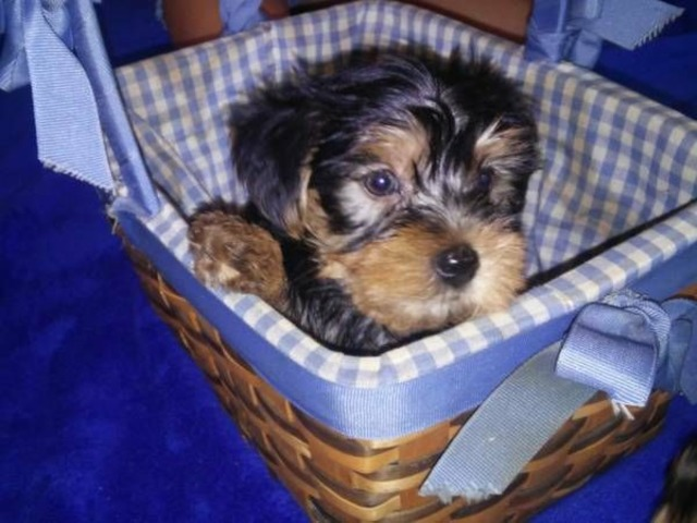 Two Adorable 12 Week Old Puppies Yorkie Animals Little Rock