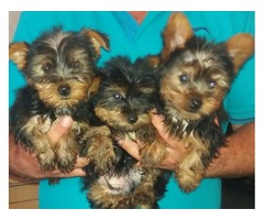 Tiny and Compact Yorkie