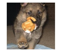 AKC Reg. German Shepherd puppies