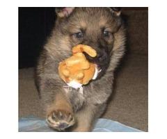 AKC Reg. German Shepherd puppies