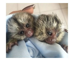 BEAUTIFUL PAIR MARMOSET READY NOW