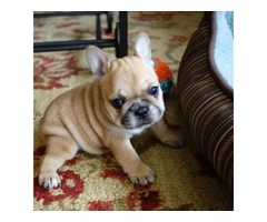 cute lovely french bulldog