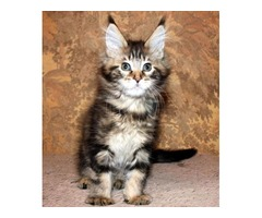 incredible Maine Coon kitty's for home