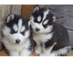 Last 2 Stunning Pedigree Siberian Huskies