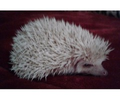 2 male baby hedgehogs for sale