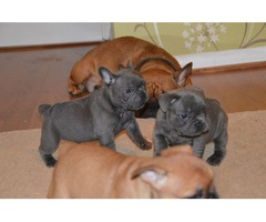 cute lovely bluered french bulldog