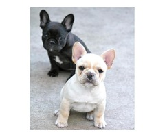 cute lovely french bulldog