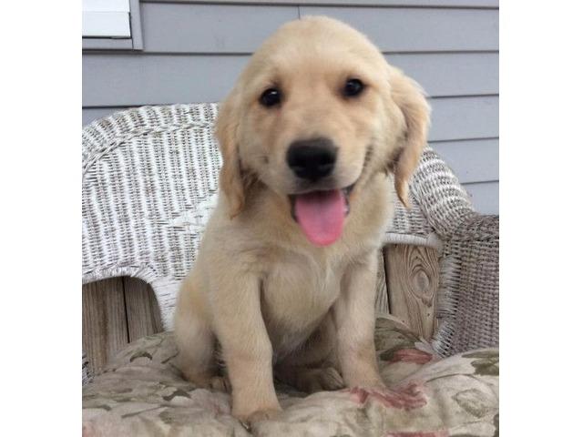 Akc Golden Retriever Puppies Animals Lone Rock Wisconsin