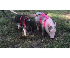 2 mini pigs for sale